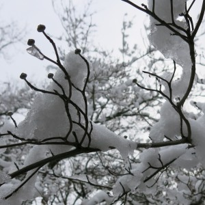Snow on the Dogwood Tree