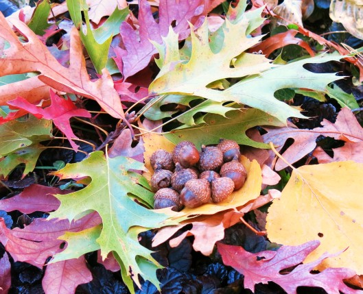 A Cache of Acorns on Fall Leaves