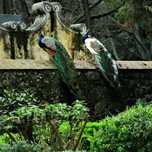 Peacocks in the Castelo São Jorge (St. George Castle) - Lisbon